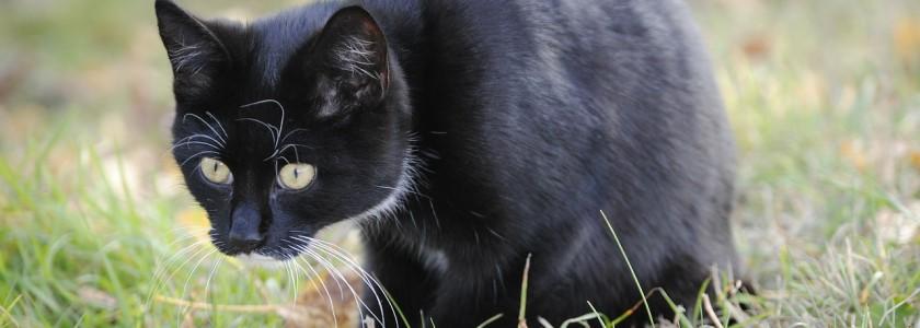 kočka lov