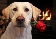 pes růže