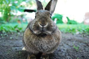 samice králíka s lalokem